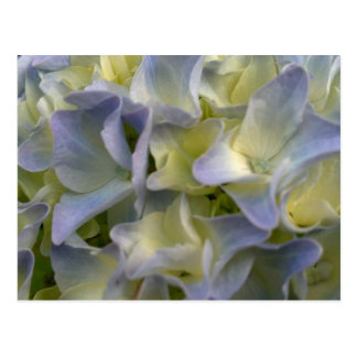 Blue hydrangea postcard post cards