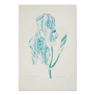 Blue Iris by Redoute Poster