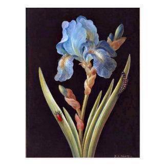 Blue Iris (germanica) Postcard