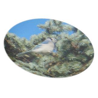 Blue Jay Colorado Spruce Plate