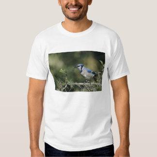 Blue Jay, Cyanocitta cristata,adult, San Tees