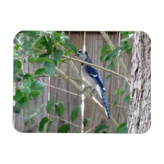 Blue Jay Hiding - Nature Magnet