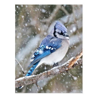 Blue Jay in a Snowstorm Postcard