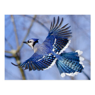 Blue Jay in Flight Postcard