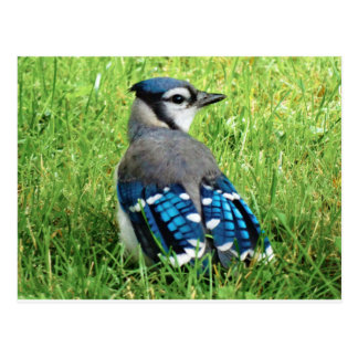 Blue Jay in the Grass Postcard