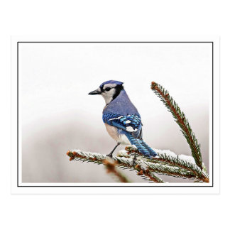 Blue Jay in Winter Postcard