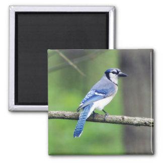 Blue Jay Square Magnet