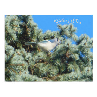 Blue Jay Thinking of You Postcard