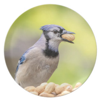 Blue jay with a peanut plate