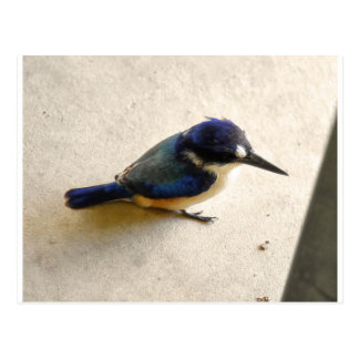 BLUE KINGFISHER QUEENSLAND AUSTRALIA POSTCARD