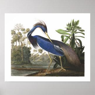 Blue Louisiana Heron Bird Illustration Poster