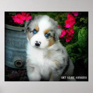 Blue Merle Aussie 2 Puppy Poster