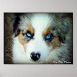 Blue Merle Aussie Puppy Poster