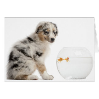 Blue Merle Australian Shepherd puppy looking at Card