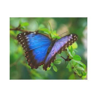 Blue Morpho Stretched Canvas