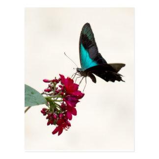 Blue Mountain Swallowtail Butterfly Postcard