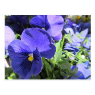 Blue Pansies Postcard