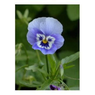 Blue Pansy Flower Postcard