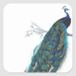 Blue Peacock with beautiful tail feathers