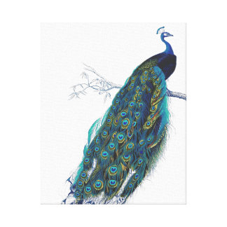 Blue Peacock with beautiful tail feathers Stretched Canvas Print