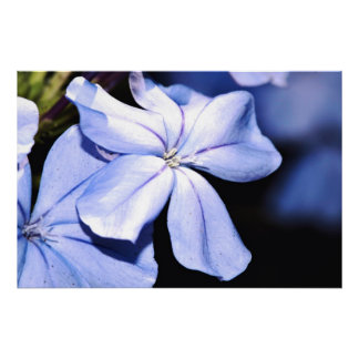 Blue Plumbago on Canvas Poster