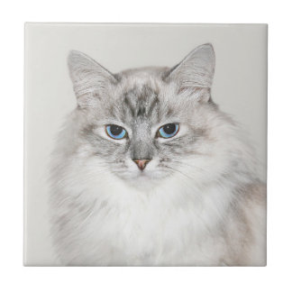 Blue point Himalayan cat Small Square Tile