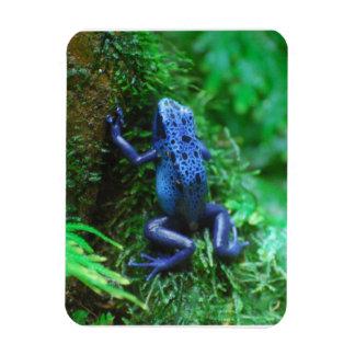 Blue Poison Arrow Frog Rectangular Photo Magnet