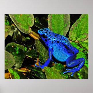 Blue Poison Dart Frog Dendrobates azureus Poster