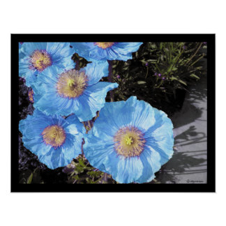 Blue Poppies Poster Prints
