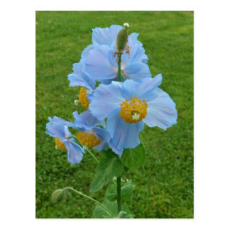 Blue Poppy (Meconopsis) Postcard