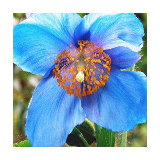 Blue Poppy Stretched Canvas Print