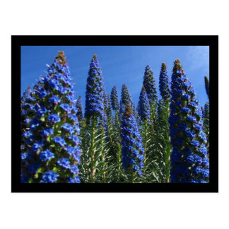 Blue Pride of Madeira Flowers Postcard