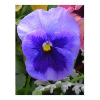 Blue/purple pansy post card