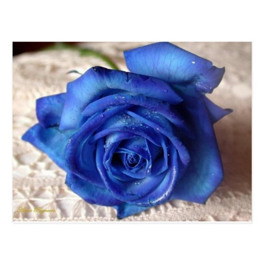 Blue Rose Postcard