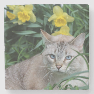 Blue Tip Siamese and daffodils Stone Coaster