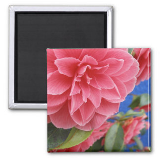Blue Wall Pink Camellia Square Magnet