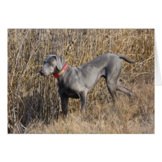 Blue Weimaraner in a field Card