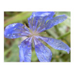 Blue Wildflower - Cichorium Intybus - Chicory Post Cards