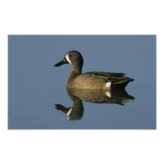 Blue-winged Teal, Anas discors,male, Port Poster