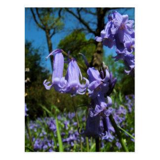 Bluebells, Essex, England - Postcard