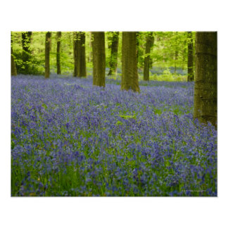 Bluebells in West Wood Lockeridge Marlborough 2 Poster