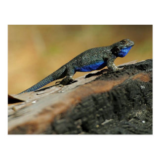BlueBelly Lizard Postcard