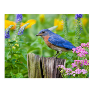 Bluebird male on fence post in flower garden postcard