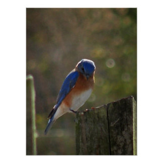 Bluebird on Fence Post Poster