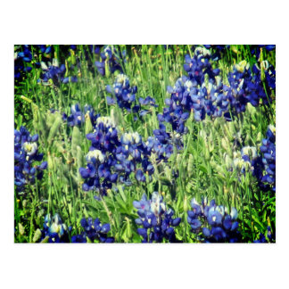 Bluebonnet post card