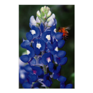 bluebonnet with bee poster