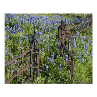 Bluebonnets and phlox surrounding cemetery gate poster