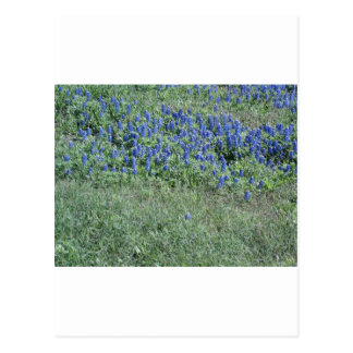 Bluebonnets In Texas Post Cards
