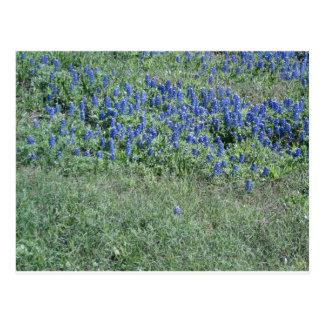 Bluebonnets In Texas Postcards