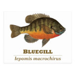 Bluegill Bream Fishing